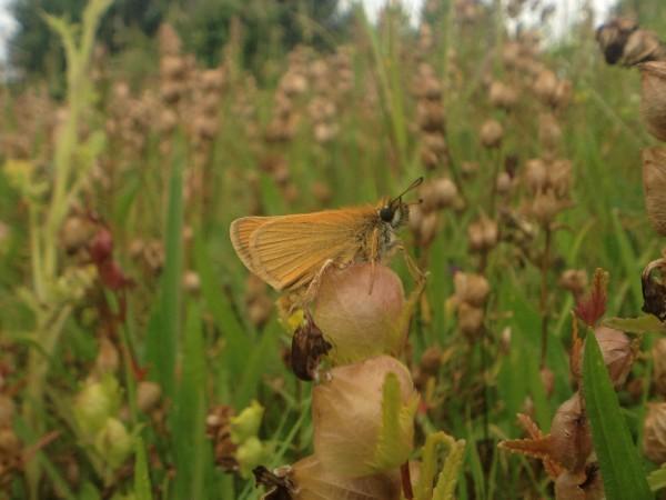 small skipper - garden, bristol -