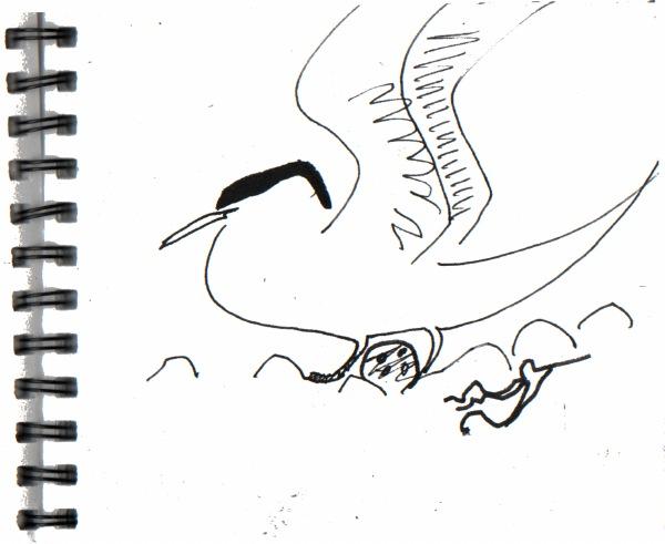 arctic terns - shetland - ink pen -  A5 sketchbook