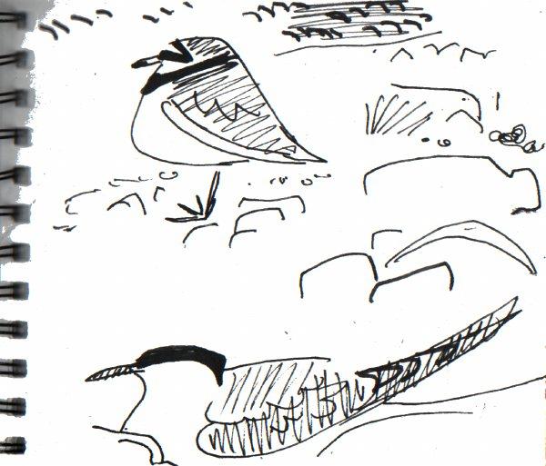 arctic tern & ringed plover - shetland - ink pen -  A5 sketchbook
