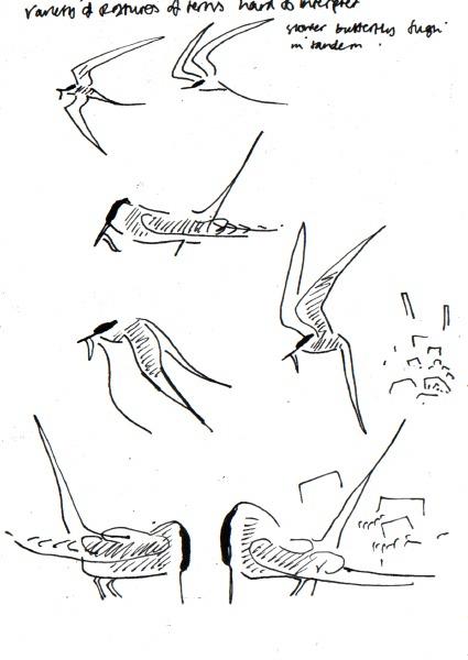 arctic terns - shetland - ink pen -  A4 sketchbook