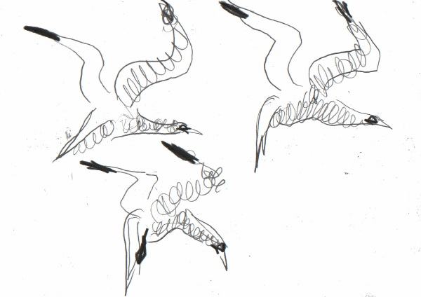 6666 -flying gannet studies - graphite - 21 x 29.7cms (A4)