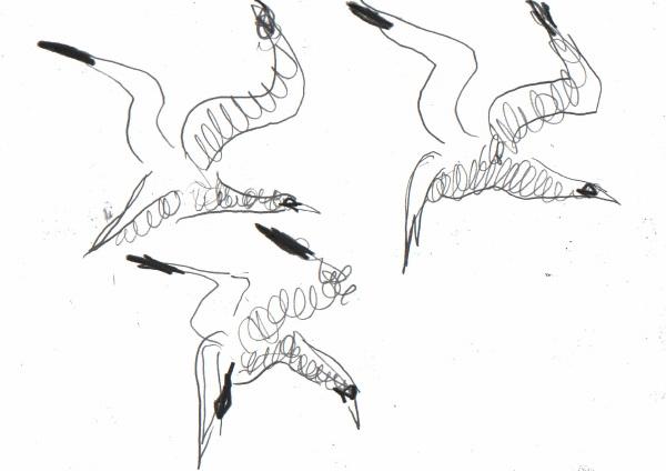 6666 -flying gannet studies - graphite - 21 x 29.7cms (A4)