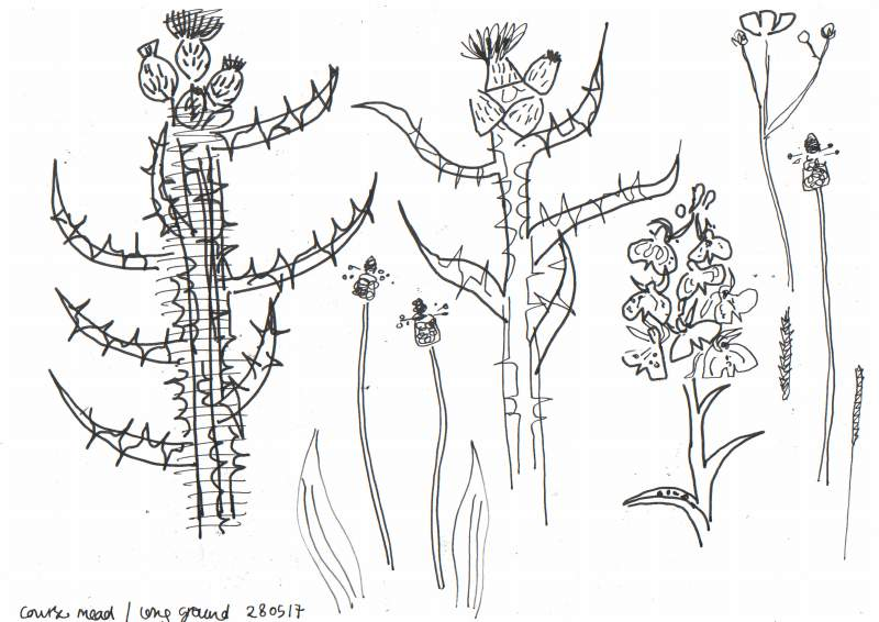 6862marsh thistle, heath spotted orchid - kingcombe - ink pen - 29.7 x 42 cms (A3)