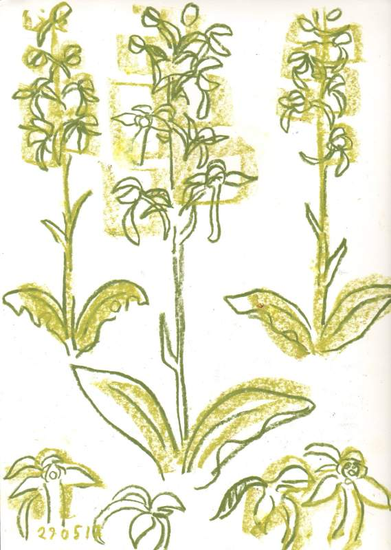 6855butterfly orchid - powerstock common - wax crayon - 42 x 29.7 cms (A3)