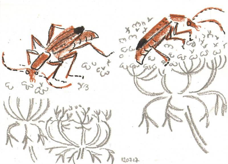 common soldier beetle on carrot - allotment bristol - wax crayon - c. A3