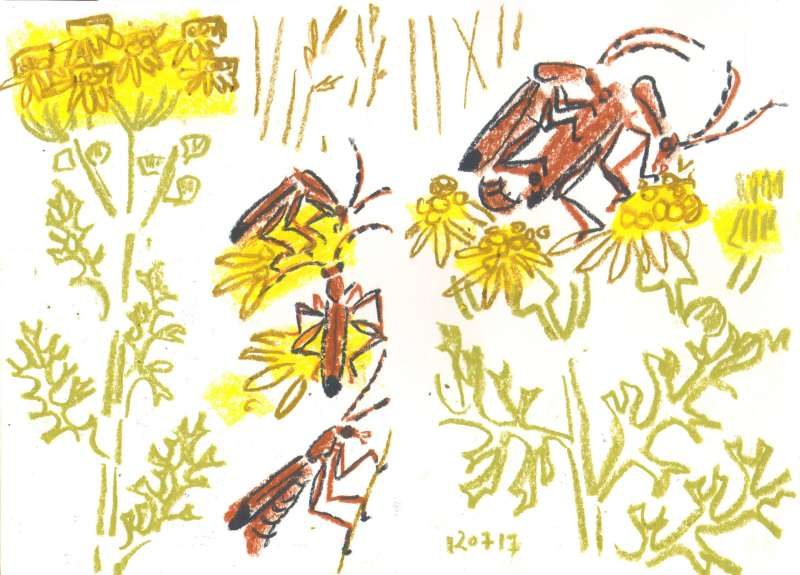 common soldier beetle on ragwort - allotment bristol - wax crayon - c. A3