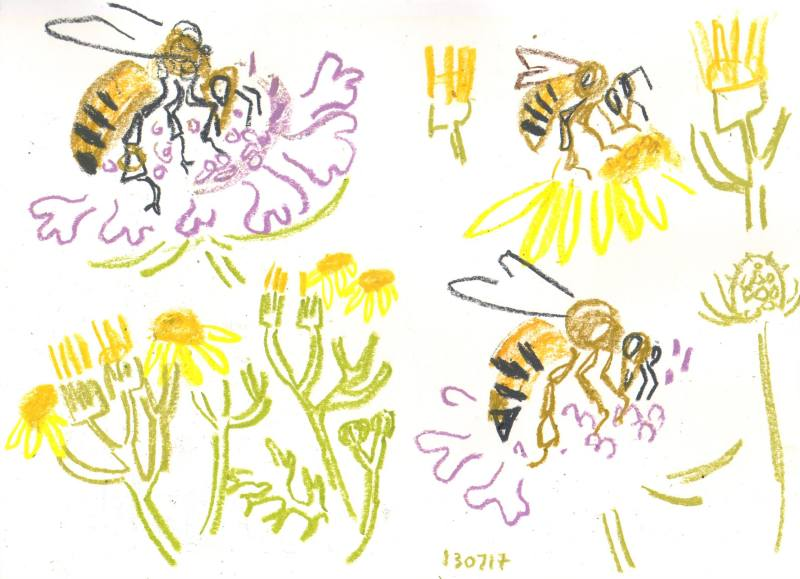 honey bee on scabious & ragwort - allotment bristol - wax crayon - c. A3