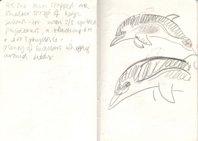7074dead common dolphin - pembrokeshire - graphite - A6 sketchbook