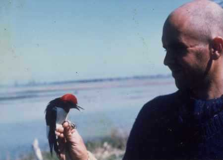 Ringing a Red-headed woodpecker, Ontario 1985