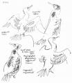 cormorant studies ‐ ink pen ‐ 42 x 29.7 cms (A3) ‐‐GregPoole