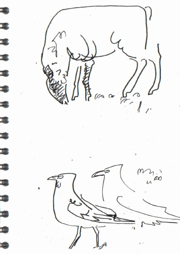 crows & sheep