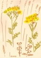 ragwort & yellow rattle‐Greg Poole