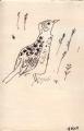sidamo lark ‐ ink pen ‐ 18 x 12 cms ‐ £50 ‐     ethiopia‐GregPoole