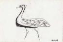 hartlaub's bustard ‐ ink pen ‐ 12 x 18 cms ‐ £40 ‐     ethiopia‐GregPoole