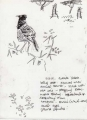 superb starling ‐ ink pen ‐ 24 x 18 cms ‐ £40 ‐ outside yabelo. looking west. acacias & termite mounds. scrub with red soil. straggling straw grass. superb starlings. sparrowhawk sp. disturbing them. hornbills, shrike (white crown), barbet, ground squirrel ethiopia‐Greg Poole