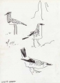 bush crows & crowned plover ‐ ink pen ‐ 24 x 18 cms ‐ £50 ‐ ethiopia‐Greg Poole