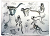 <b>barbados, green monkey</b>      graphite & watercolour   56 x 78 cms   £90‐Greg Poole