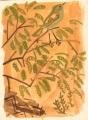 211&#8208;6865&emsp;<b>chiffchaff in acacia</b>&emsp;djoudj sahel&emsp;gouache&emsp;38 x 28 cms&emsp;&#8208;Greg&nbsp;Poole