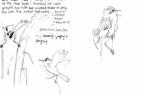 bearded tit & reed warbler notes