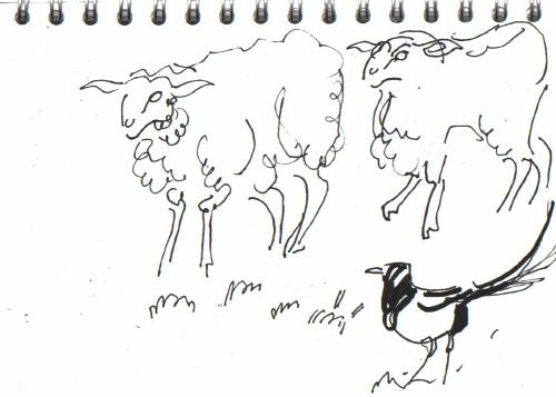 sheep & magpie