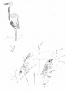 <b>waxbills & goliath heron</b>   inkpen  A3  £50‐GregPoole