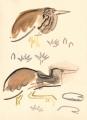 212‐6884<b>squacco heron</b>djoudj gainthegouache38 x 28 cms‐GregPoole