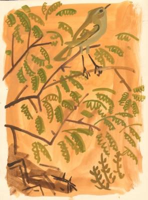 chiffchaff in acacia