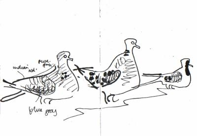 <i></i><br/>laughing, namaqua & turtle doves