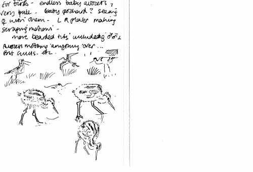 redshank chicks